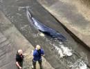 إنقاذ حوت صغير علق في نهر التايمز